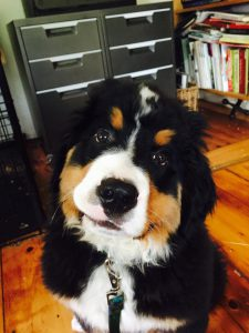 Adorable Sadie, a Bernese Mountain Dog puppy